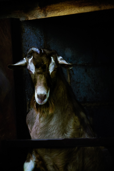 goat_photographer001