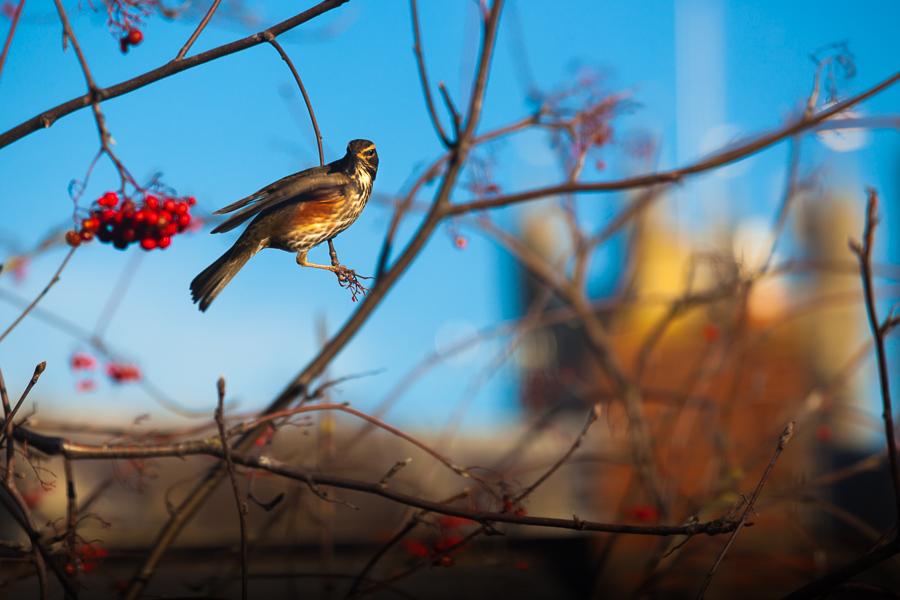 Herring gull, crow, bird photography, Exeter, Devon, Cornwall, Dorset, Uk